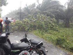 Terjadi Pohon Tumbang Melintang Jalan Lintas Rawang Kabupaten Asahan